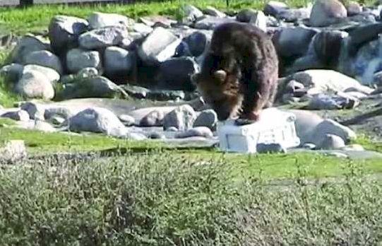 yeti-grizzly-bear.jpg